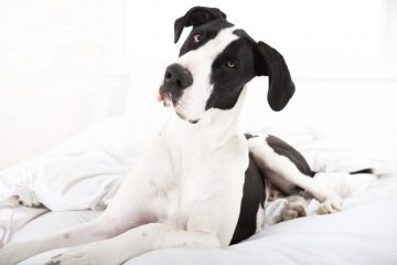 Great Dane Breeder Review