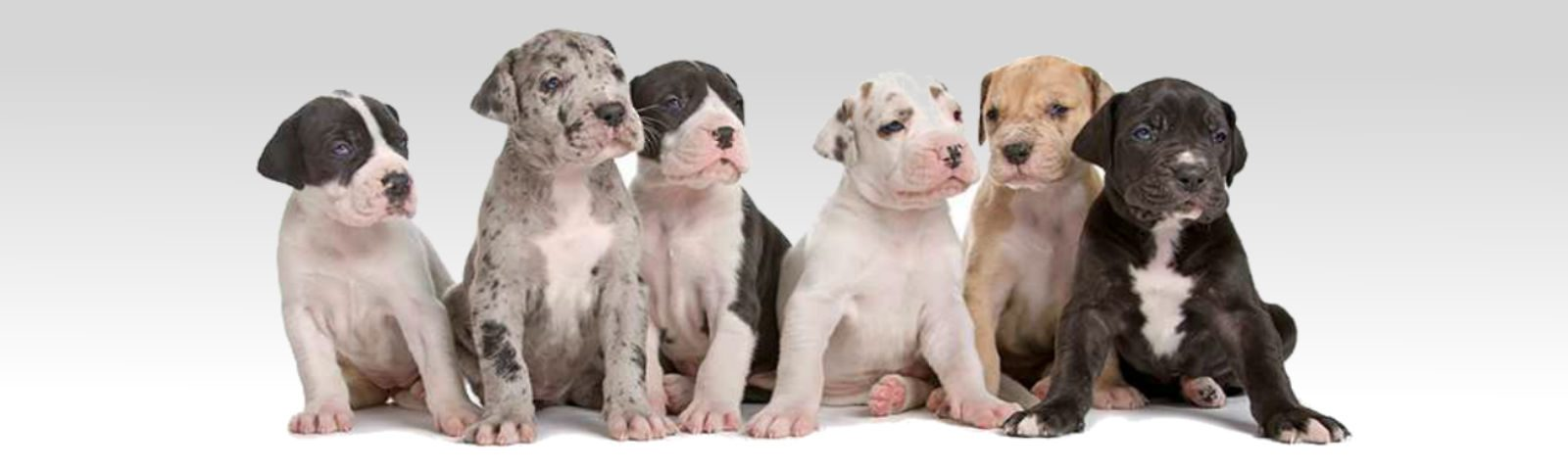 dane puppies
