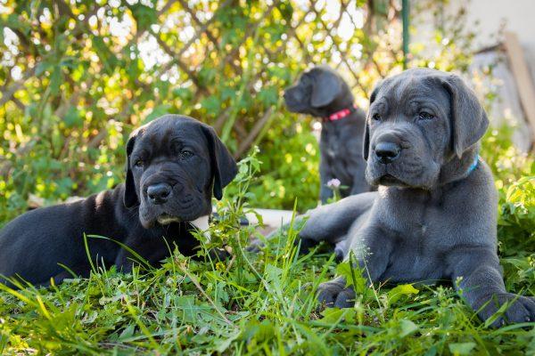 Great Dane Breeders