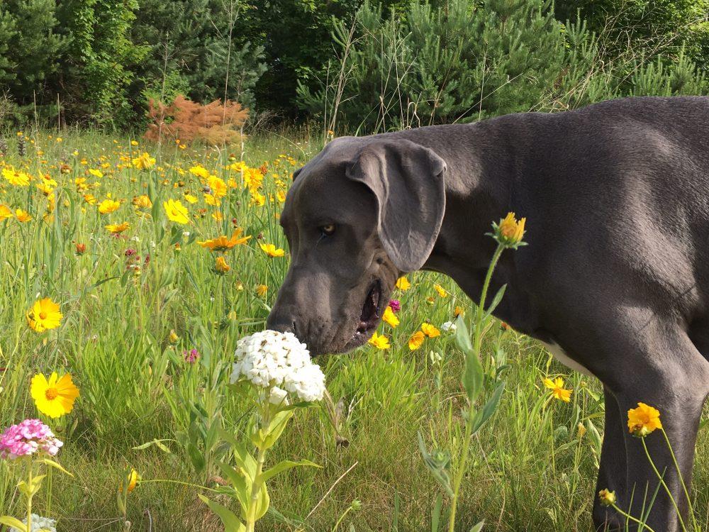 Dane smelling flower