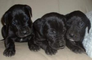 black great dane puppies