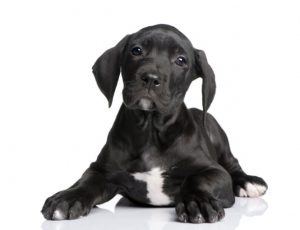Black and White Dane Puppies